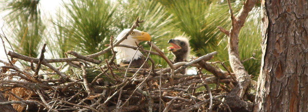 1024px-baby_bald_eagle_in_nest_cropped