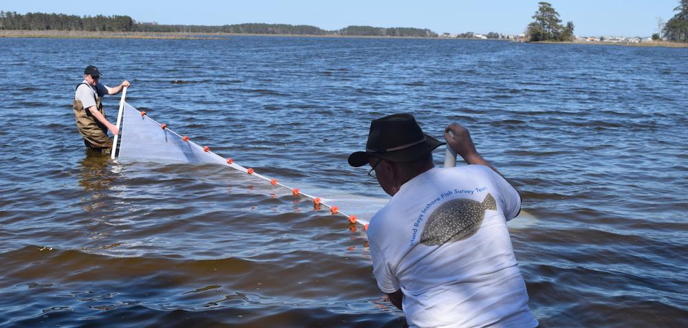 Pulling the seine net at Sassafrass Landing - Photo courtesy of Dennis Bartow