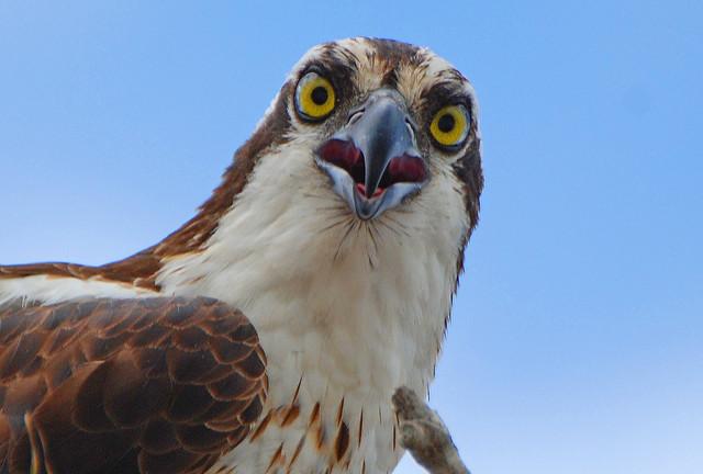 Where Do The Ospreys Go In The Fall?