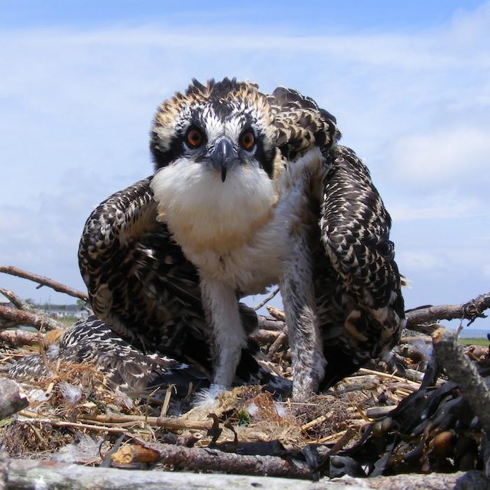 Banded juvenile osprey 27 June 2011 DHB 0145