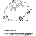 Life Cycle of a Blue Crab