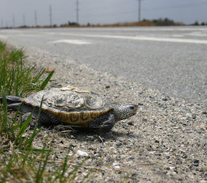 Diamondback terrapin preparing to cross busy Route 2