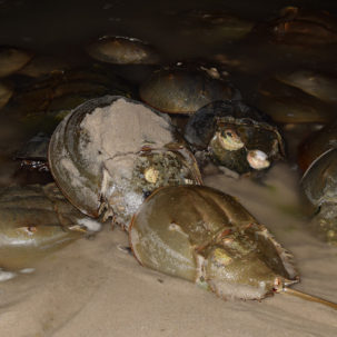 Center for the Inland Bays to Kick Off Annual Horseshoe Crab Survey on April 5