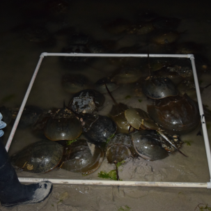 Center for the Inland Bays Seeks Volunteers for Annual Horseshoe Crab Survey