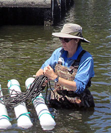 Installing oyster cages in a South Bethany canal.