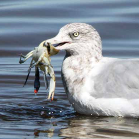 Herring gull with Blue crab Photo: John A. Fritchey