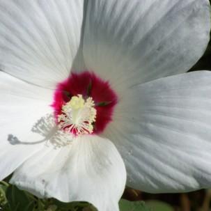 Marsh Hibiscus (Hibiscus moscheutos)