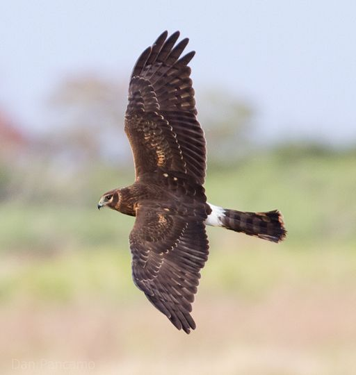 Northern_Harrier2_by_Dan_Pancamo