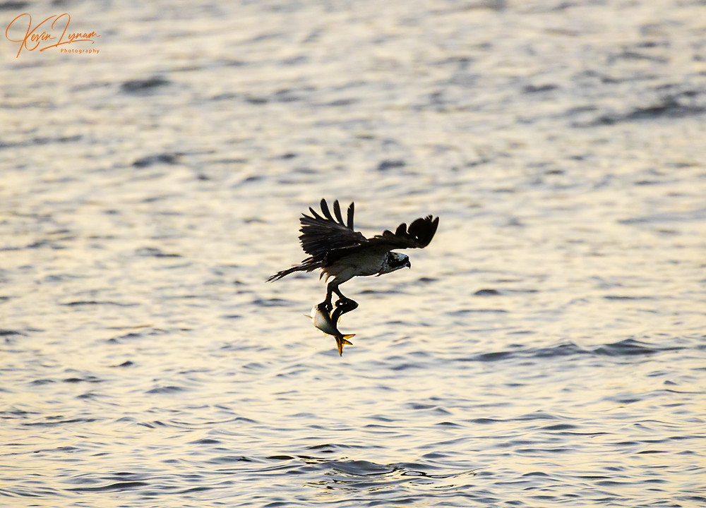 How Ospreys and Volunteerism Gave One Local Photographer a New Perspective