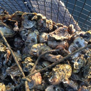 Become an Oyster Gardener to Help Delaware's Inland Bays!