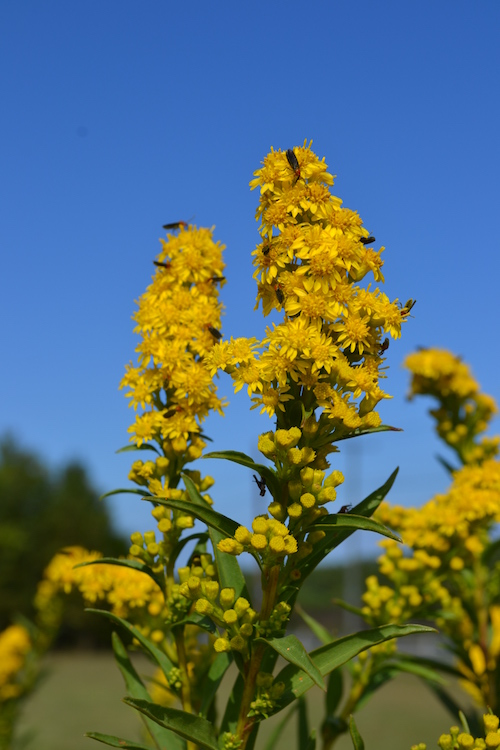 Seaside goldenrod with March Flies - DHB