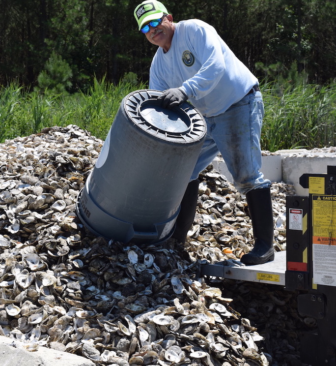"Oysters are collected and ""cured"" for use in restoration projects."