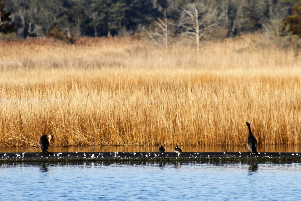 Cormorants and waterfowl take a rest on a pipe at the Indian River Marina.