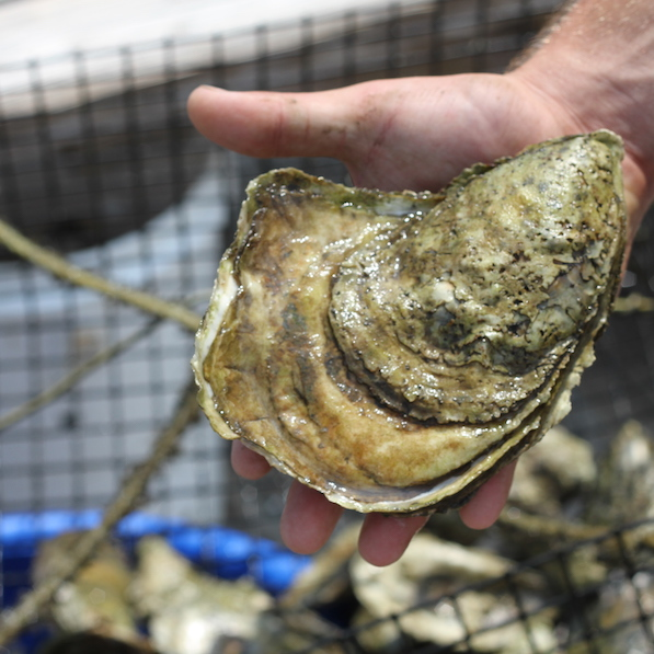 Maintaining Oyster Gardens: A Day in the Life of a CIB Intern