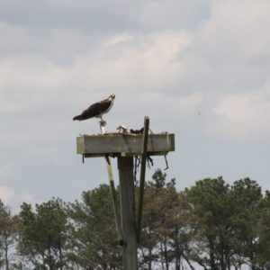 Inland Bays Osprey Survey